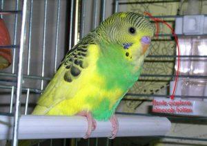 Yavru Ve Damızlık Muhabbet Kuşu Ayırt Etme Resimli Secdem