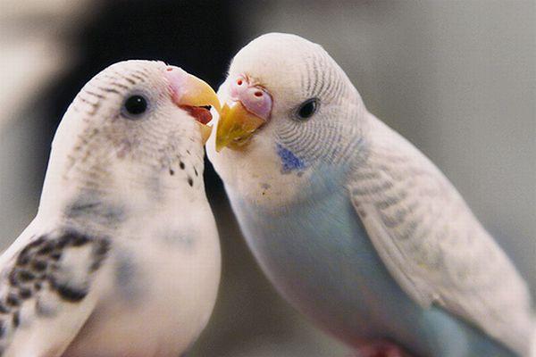 Ev Ortamında Muhabbet Kuşu üretimi Secdem